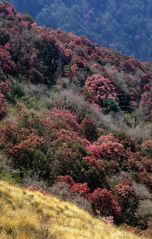 [NEPAL 27097] 'Rhododendron forest between Ghorepani and Deurali.'  	In april the mountain ridge between Ghorepani and Deurali in the Annapurna Conservation Area is covered in flowering rhododendron forests. Photo Paul Smit.