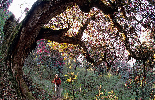 [NEPAL 27081] 'Ancient rhododendron tree near Ghorepani.'  	An ancient rhododendron tree bends its thick moss covered stem over a mountain ridge path leading east from Ghorepani to Deurali in the Annapurna Conservation Area. Photo Mick Palarczyk & Paul Smit.