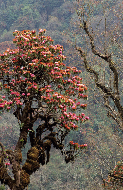 [NEPAL 27058] 'Rhododendron tree near Ghorepani.'  The valley slopes of the Bhurundi Khola, south of the village of Ghorepani (in the Annapurna Conservation Area) are colouring red with the flowers of rhododendron forests. The stems and branches of the trees, that can attain heights of over 25 meter, are covered with moss as a result of the wet conditions during the southwestern monsoon in the summer months. Photo Paul Smit.