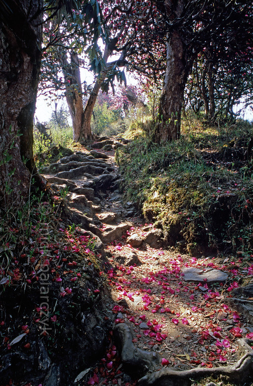 [NEPAL 27090] 'Rhododendron flowers on mountain path.'  Rhododendron flowers cover the mountain ridge path leading east from Ghorepani to Deurali in the Annapurna Conservation Area. Photo Mick Palarczyk.