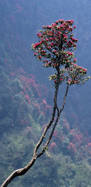 [NEPAL 27105] 'Flowering rhododendron trees.'  In april the mountain ridge between Ghorepani and Deurali in the Annapurna Conservation Area is covered in flowering rhododendron forests. Photo Paul Smit.
