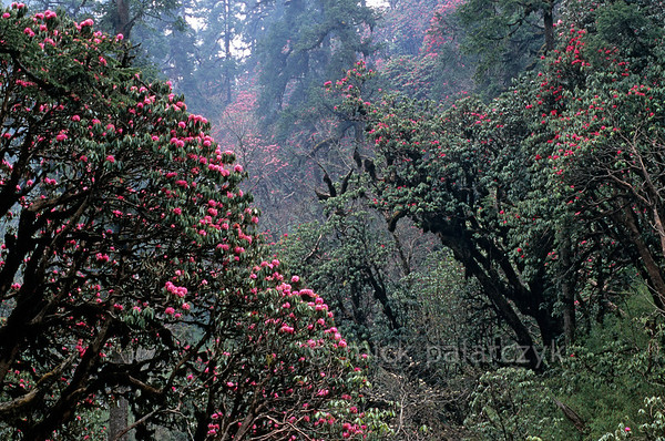 [NEPAL 27137] 'Flower filled gorge.'  	In april the gorge of the Mutlung Pala between Deurali and Tadapani in the Annapurna Conservation Area is filled with flowering rhododendron trees. The stems and branches of the trees, that can attain heights of over 25 meter, are covered with moss as a result of the wet conditions during the southwestern monsoon in the summer months. Photo Mick Palarczyk.