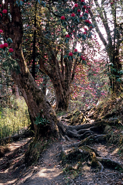 [NEPAL 27099] 'Path between Ghorepani and Deurali.'  	The roots of ancient rhododendron trees snarl across the mountain ridge path between Ghorepani and Deurali in the Annapurna Conservation Area. Photo Mick Palarczyk.