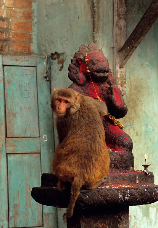[NEPAL.KATHMANDUVALLEY 27233] 'Hanuman at Swayambhu stupa.'  On the temple grounds of Swayambhu stupa, at the western outskirts of Kathmandu, a monkey is investigating a statue of Hanuman. Owing to his ability to ward of evil spirits, the Hindu monkey god Hanuman is one of the most popular gods in Nepal. His statues are often covered in vermilion paste as a result of puja offerings. Photo Paul Smit.