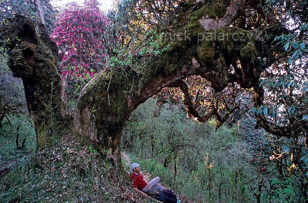 [NEPAL 27078] 'Ancient rhododendron tree near Ghorepani.'  	An ancient rhododendron tree bends its thick moss covered stem over a mountain ridge path leading east from Ghorepani to Deurali in the Annapurna Conservation Area. Photo Mick Palarczyk.