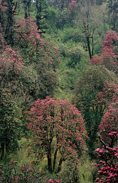 [NEPAL 27130] 'Rhododendron forest near Deurali.'  In april the mountain ridge between Ghorepani and Deurali in the Annapurna Conservation Area is covered in flowering rhododendron forests. The forest has a thick undergrowth of bamboo. Photo Paul Smit.