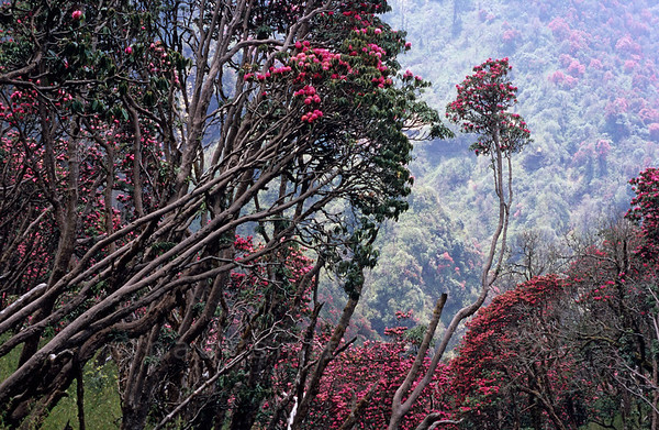 [NEPAL 27117] 'Flowering rhododendron forest.'  In april the mountain ridge between Ghorepani and Deurali in the Annapurna Conservation Area is covered in flowering rhododendron forests. Photo Paul Smit.
