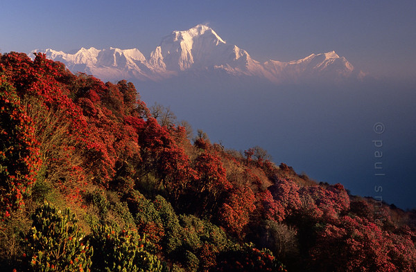 [NEPAL 27035] 'Dhaulagiri seen from Poon Hill'  On an early april morning the white peaks of the Dhaulagiri massif tower above rhododendron covered slopes of Poon Hill near the village of Ghorepani. Some of the rhododendrons are giants having height of over 25 meter. Photo Paul Smit