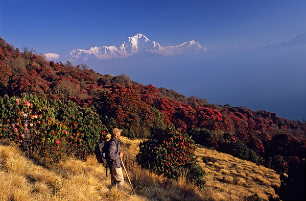 [NEPAL 27039] 'Dhaulagiri seen from Poon Hill.'  	On an early april morning the white peaks of the Dhaulagiri massif tower above rhododendron covered slopes of Poon Hill near the village of Ghorepani. Some of the rhododendrons are giants having height of over 25 meter. Photo Mick Palarczyk.
