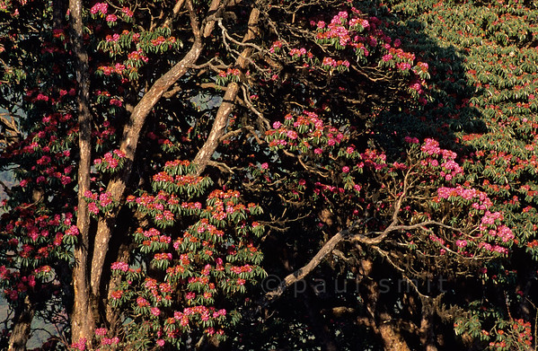 [NEPAL 27076] 'Rhododendron trees near Ghorepani.'  	The valley slopes of the Bhurundi Khola, south of the village of Ghorepani (in the Annapurna Conservation Area), are colouring red with the flowers of rhododendron forests. The the trees can attain heights of over 25 meter. Photo Paul Smit