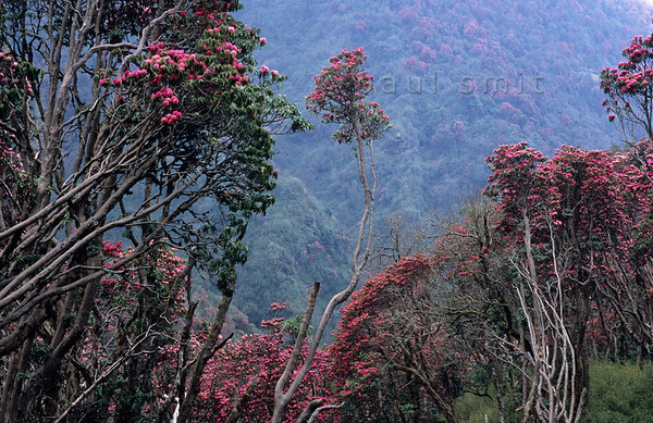 [NEPAL 27112] 'Flowering rhododendron forest.'  In april the mountain ridge between Ghorepani and Deurali in the Annapurna Conservation Area is covered in flowering rhododendron forests. Photo Paul Smit.