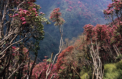 Nepal: Hiking the Rhododendron Forests