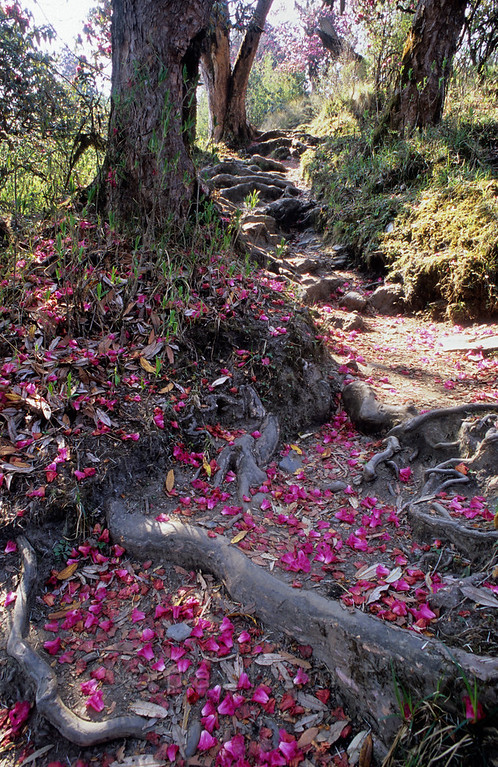 [NEPAL 27087] 'Rhododendron confetti.'  Rhododendron flower petals cover the mountain ridge path leading east from Ghorepani to Deurali in the Annapurna Conservation Area. Photo Paul Smit.