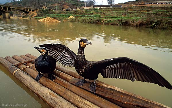 [CHINA.GUANGXI 25.394] 'Cormorants.' The cormorants of a cormorant-fisher are prevented from swallowing the fish they have caught for their master by a cord which is tightened around their neck. Photo Mick Palarczyk.