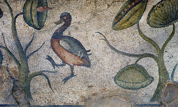 "[TURKEY.EAST 29306] 'Duck in Byzantine mosaic in Urfa.'  	In Urfa (the Edessa of the antique period) the ""Villa of the Amazons"" probably belonged to an important administrator of the Eastern Roman (Byzantine) Empire. Twelve rooms in this villa have preserved 5/6 th century floor mosaics. Some of them are quite large, such as panels depicting the life of Achilles and hunting Amazon queens. The border zones of these large tableaus are adorned with smaller scenes, mostly depicting animals, such as this duck. Photo Mick Palarczyk."