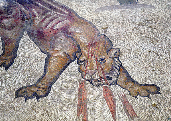 "[TURKEY.EAST 29277] 'Wounded lion in Byzantine mosaic in Urfa.'  	In a hunting scene, a lion is bleeding from a wound in the neck, inflicted by the Amazon Melanippe. The 5/6 th century floor mosaic can be found in the ""Villa of the Amazons"", a palatial house, that probably belonged to an important administrator of the Eastern Roman (Byzantine) Empire, who lived in Edessa (nowadays called Urfa). The remains of the villa were discovered in 2006 near the center of Urfa. Photo Mick Palarczyk."