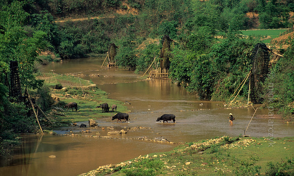 [VIETNAM.NORTH 21.309] 'Water buffalo.'  	A shepherd and his water buffalo are wandering through a tributary of the Nam La River, south of So'n La. Photo Mick Palarczyk.