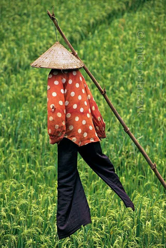 [VIETNAM.NORTH 21.484] 'Vietnamese scarecrow.'  A scarecrow, seemingly striding through the fields, saves rice from hungry birds. Photo Mick Palarczyk