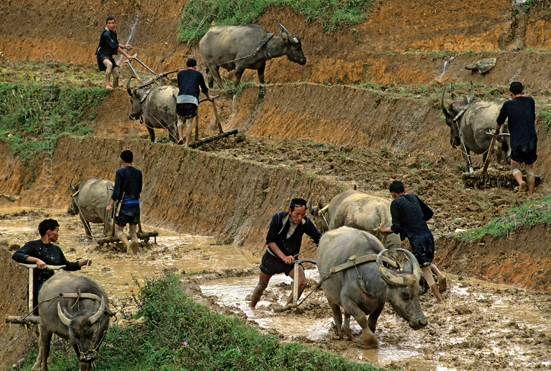 [VIETNAM.NORTH 21.457] 'Plowing Black H'mong men.'  Black H'mong men are plowing rice fields on a steep slope north east of Sapa. Photo Mick Palarczyk