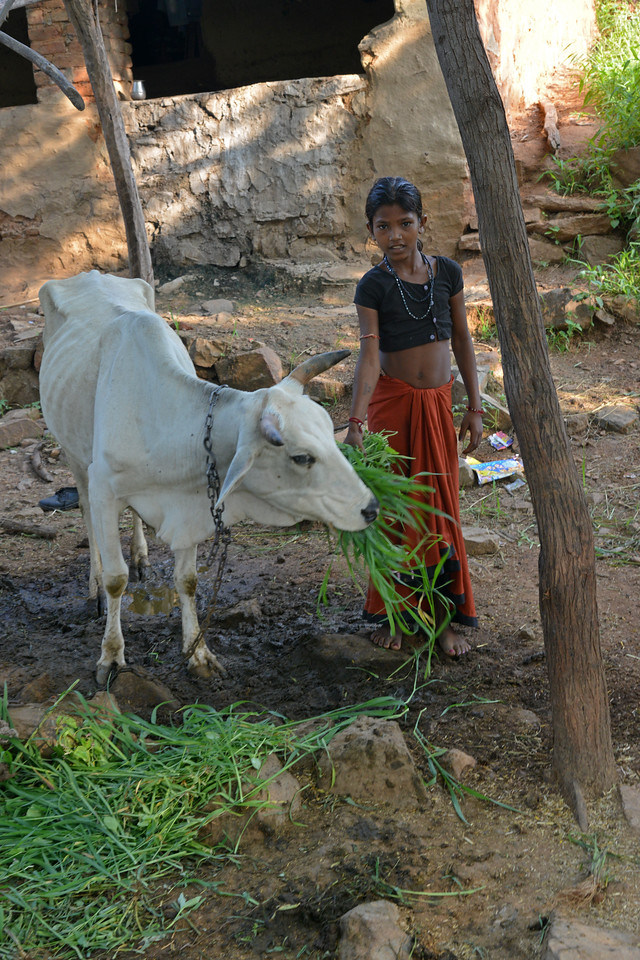 This young girl is not going to school although it is a stone's throw away and instead is feeding the cattle and doing other house hold chores.<br /> <br /> Educate Girls, founded in 2007, is a non-governmental organization that holistically tackles issues at the root of gender inequality in India's educational system. A comprehensive model reforms government schools through community ownership and ensures full enrollment, higher attendance and improved learning outcomes for all girls.