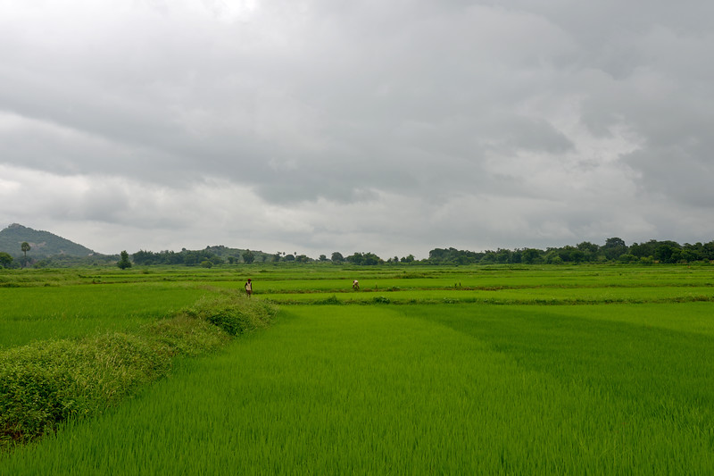 Farmers work in the fields growing rice and other crops near Jaleripentho village. <br /> <br /> Gram Vikas' founders came to Orissa in the early 1970s as student volunteers to serve victims of a devastating cyclone. Their extensive activism and relief work motivated them to form Gram Vikas, which was registered on January 22, 1979, and currently serves more than 3,89,333 people in 1196 habitations of 25 districts in Odisha. Through its direct outreach programmes Gram Vikas works in 943 villages across 23 districts covering 59,132 families of which 39% are adivasis, 14% are dalits and the remainder are from general castes, mostly poor and marginal farmers.