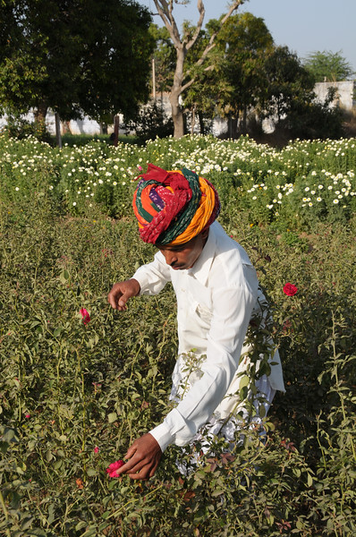 Mobile phone use in Rural Rajasthan (Village near Pushkar): Sayar Singh who stays Chamunda Matha Road, Pushkar, Rajasthan, India checking his grain and flower fields near his house.