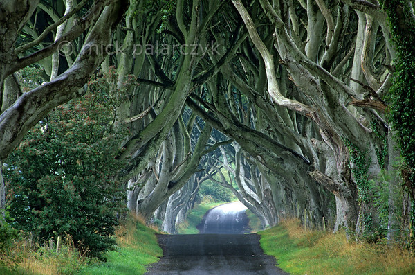 [BRITAIN.IRELANDNORTH 21.866] 'Beech cathedral.'  	At Stranocum, east of Coleraine, the mysticism of Ireland is embodied by this splendid tunnel of beech branches which arch up like the vaults of a gothic cathedral. Photo Mick Palarczyk.