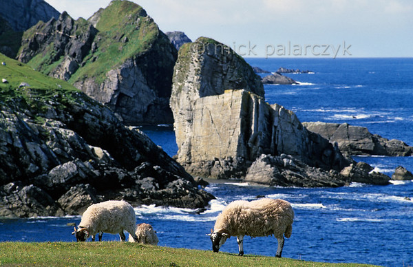 [IRELAND.DONEGAL 21.800] 'Seastacks at Port.'  	Sheep can roam freely along the beautiful Atlantic coast at Port, north of Glencolumbkille. Photo Mick Palarczyk.