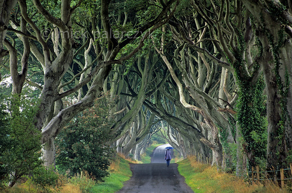 [BRITAIN.IRELANDNORTH 21.869] 'Beech cathedral.'  	At Stranocum, east of Coleraine, the mysticism of Ireland is embodied by this splendid tunnel of beech branches which arch up like the vaults of a gothic cathedral.  Legend tells that a supernatural 'Grey Lady' haunts the thin ribbon of road that winds beneath the ancient trees. She silently glides along the roadside and vanishes as she passes the last beech tree. Some say the specter is the ghost of a maid from the nearby house who died in mysterious circumstances centuries ago. Others believe that she is a lost spirit from an abandoned graveyard that is thought to lie hidden in the fields nearby. On Halloween night, the forgotten graves are said to open and the Grey Lady is joined on her walk by the tormented souls of those who were buried beside her. Photo Mick Palarczyk.