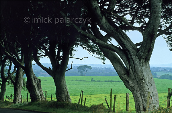 [BRITAIN.IRELANDNORTH 21.874] 'Green Ireland.'  	Green Ireland shimmers behind these ancient beech trees at Stranocum, east of Coleraine. Photo Mick Palarczyk.
