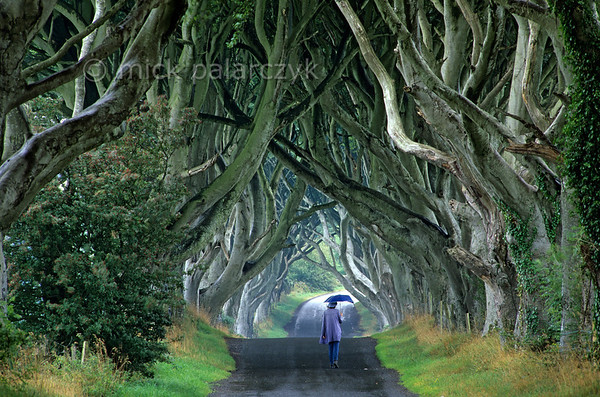 [BRITAIN.IRELANDNORTH 21.865] 'Beech cathedral.'  At Stranocum, east of Coleraine, the mysticism of Ireland is embodied by this splendid tunnel of beech branches which arch up like the vaults of a gothic cathedral.  Legend tells that a supernatural 'Grey Lady' haunts the thin ribbon of road that winds beneath the ancient trees. She silently glides along the roadside and vanishes as she passes the last beech tree. Some say the specter is the ghost of a maid from the nearby house who died in mysterious circumstances centuries ago. Others believe that she is a lost spirit from an abandoned graveyard that is thought to lie hidden in the fields nearby. On Halloween night, the forgotten graves are said to open and the Grey Lady is joined on her walk by the tormented souls of those who were buried beside her. Photo Mick Palarczyk.