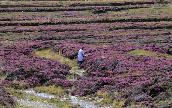 [IRELAND.DONEGAL 21.821] 'Heather.'  	The bog land west of Falcarragh is coloured purple by flowering heather. Photo Mick Palarczyk.