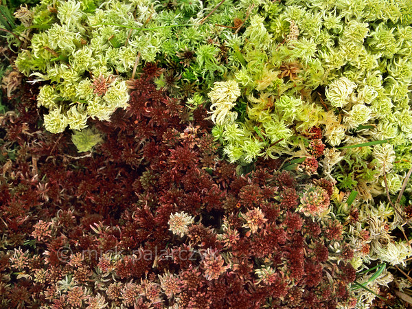 [IRELAND.DONEGAL 21.807] 'Multicolour moss.'  Most of Irelands bogs are covered with Sphagnum, a moss showing much colour variation. Photo Mick Palarczyk.