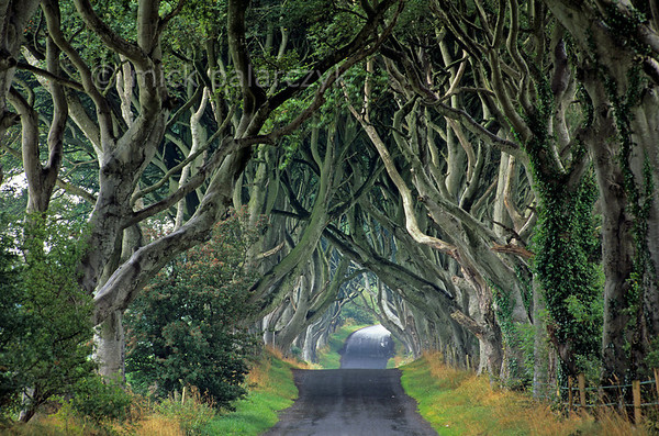 [BRITAIN.IRELANDNORTH 21.871] 'Beech cathedral-2.'  	At Stranocum, east of Coleraine, the mysticism of Ireland is embodied by this splendid tunnel of beech branches which arch up like the vaults of a gothic cathedral. Photo Mick Palarczyk.