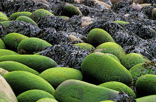 [IRELAND.DONEGAL 21.817]  Green sweets.'  	Algae overgrown boulders are lying like green sweets on the beach of the Donegal coast near Bloody Foreland. Photo Mick Palarczyk.
