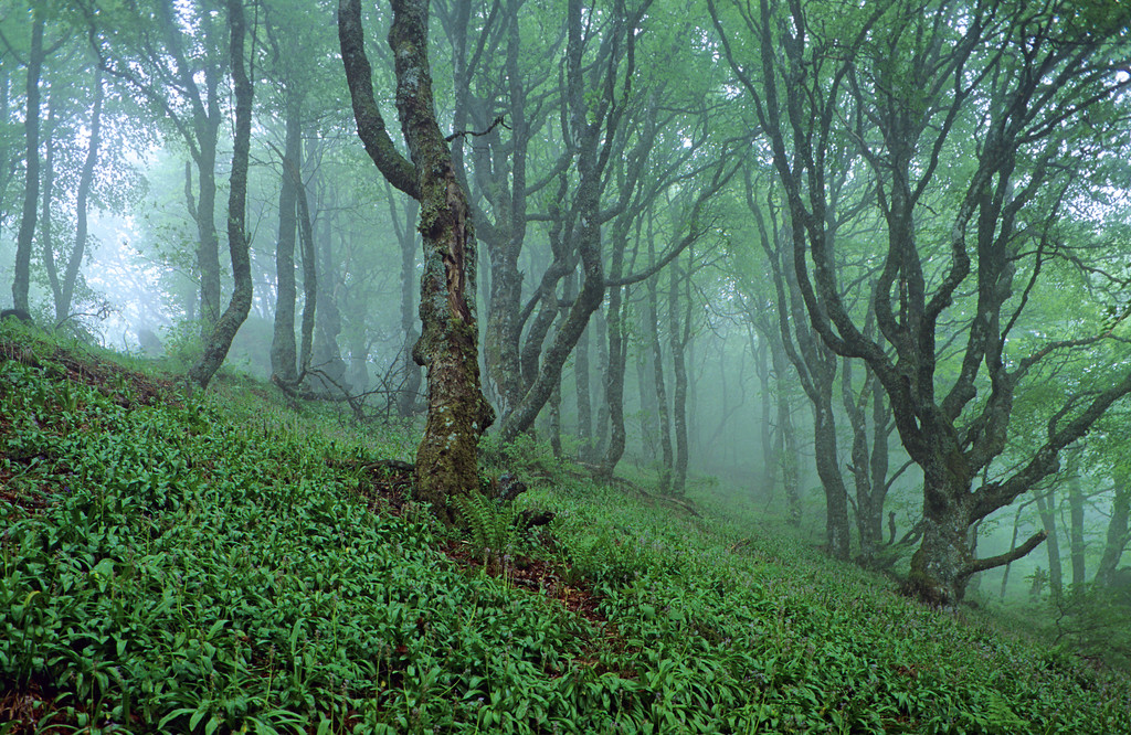 [FRANCE.AUVERGNE 28907] 'Foggy beech forest.'  The beech forests near Le Courpou Sauvage in the Vallée de Mandailles (Cantal) attain a magical quality in foggy conditions. Photo Paul Smit.
