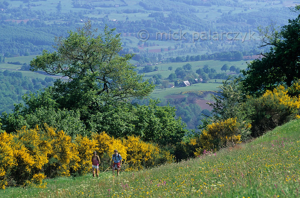 [FRANCE.AUVERGNE 28941] 'Hikers near Bort-Les-Orgues.'  In the northern Cantal hikers enjoy the bright yellow of flowering broom in the valley of the Dordogne near Bort-Les-Orgues. Photo Mick Palarczyk.