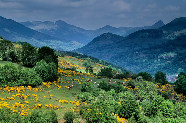 [FRANCE.AUVERGNE 28910] 'Broom in the Vallée de Mandailles.'  A view along the Vallée de Mandailles from the Route des Crêtes northeast of Aurillac (Cantal) is dominated by the yellow of blooming broom. The peculiar peak at right is the Puy Griou, a socalled volcanic plug. Photo Mick Palarczyk.