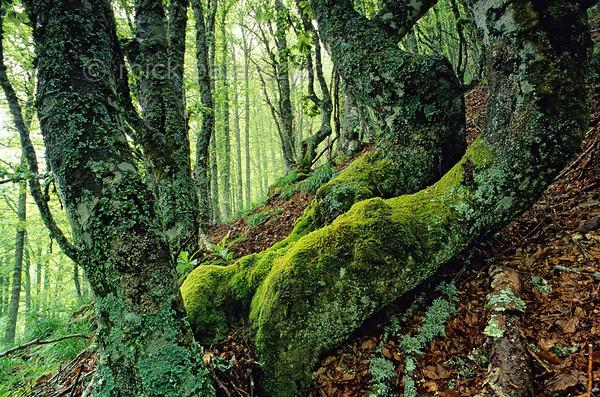 [FRANCE.AUVERGNE 28909] 'Beech forest in the Vallée de Mandailles.'  Beech forest near Le Courpou Sauvage in the Vallée de Mandailles (Cantal). Photo Mick Palarczyk.