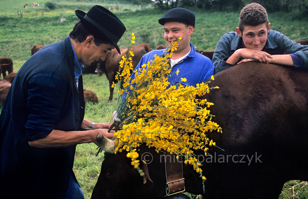 [FRANCE.AUVERGNE 28878] 'Farmhands preparing for transhumance in Allanche.'  At Allanche, in the northeastern Cantal, farmhands are decorating Salers cows with branches of flowering broom in preparation of their festive march to the summer pastures in the mountains. This transhumance normally takes place in the second half of May. Photo Mick Palarczyk.