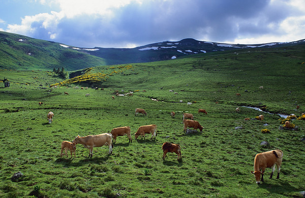 [FRANCE.AUVERGNE 28889] 'Roof of the Cantal.'  Cattle are grazing the slopes of the Plomp du Cantal, which is visible in the background. With a height of 1855 meter, it is the heighest summit of the departement and number two in Auvergne. Being the westernmost mountain of France, it faces the wet air masses from the ocean head on and consequently receives 2 meters of precipitation yearly. The result is that it still has a snow cover in june, that the surrounding meadows are so green and the local cheeses are so tasty. Photo Paul Smit.