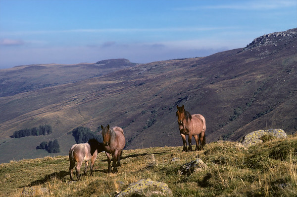[FRANCE.AUVERGNE 28948] 'Horses on the slopes of the Puy de Peyre-Arse.'  	Freely roaming horses on the slopes of the Puy de Peyre-Arse in the centre of the Cantal. Photo Paul Smit