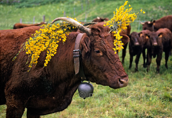 [FRANCE.AUVERGNE 28876] 'Cow decorated with broom in Allanche.'  At Allanche, in the northeastern Cantal, Salers cows are decorated with branches of flowering broom in preparation of their festive march to the summer pastures in the mountains. This transhumance normally takes place in the second half of May. Photo Mick Palarczyk.