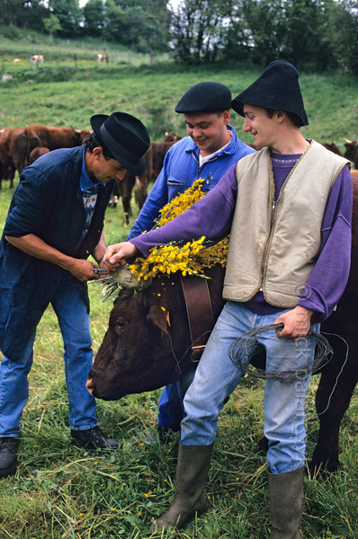 [FRANCE.AUVERGNE 28879] 'Farmhands preparing for transhumance in Allanche.'  At Allanche, in the northeastern Cantal, farmhands are decorating Salers cows with branches of flowering broom in preparation of their festive march to the summer pastures in the mountains. This transhumance normally takes place in the second half of May. Photo Mick Palarczyk.