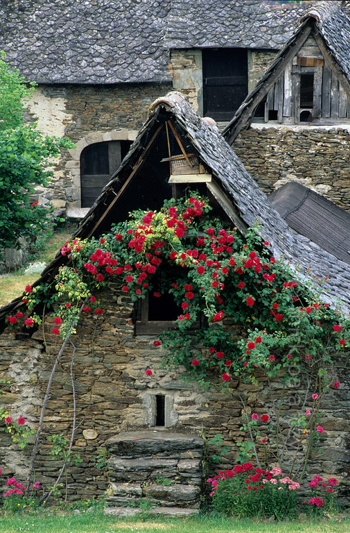 [FRANCE.AUVERGNE 28896] 'Barn in la Rouquette.'  Roses cover a barn in la Rouquette, a hamlet near Cassaniouze in the southwest corner of the Cantal. Photo Mick Palarczyk.