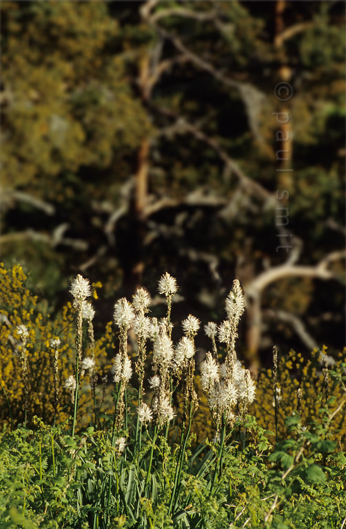 [FRANCE.AUVERGNE 28924] 'White Asphodels in Vallée de la Maronne.'  White Asphodels (Asphodelus albus, NL: Witte Affodil) flowers on the slopes of the Vallée de la Maronne, one of the western radial valleys in the Monts du Cantal. Photo Paul Smit.