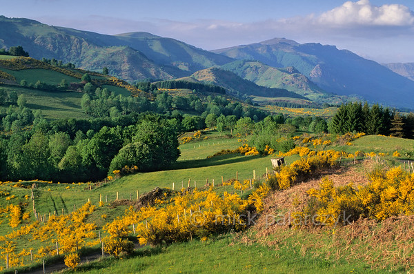 [FRANCE.AUVERGNE 28911] 'Broom in the Vallée de Mandailles.'  A view along the Vallée de Mandailles from the Route des Crêtes northeast of Aurillac (Cantal) is dominated by the yellow of blooming broom. Photo Mick Palarczyk.