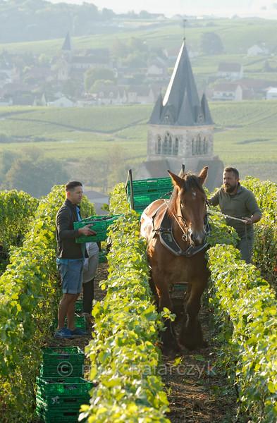 Grape harvest near Ville-Dommange.