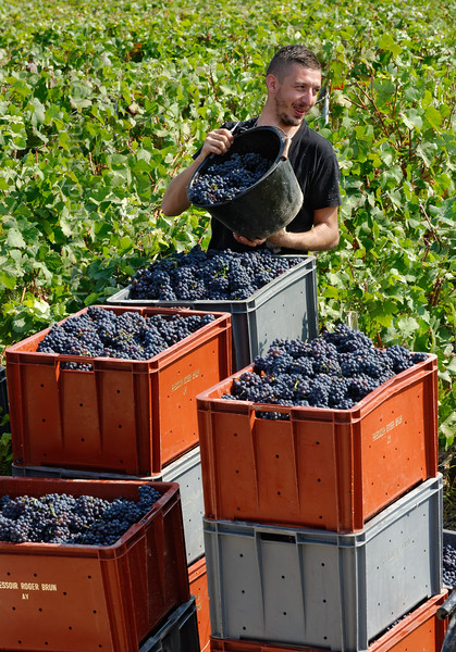 Grape harvest near Chavot-Courcourt.
