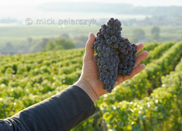 Freshly picked grapes near Ville-Dommange.